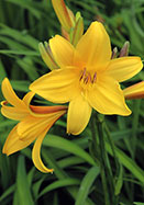 Gold Dust daylily, 1905 oldhousegardens.com