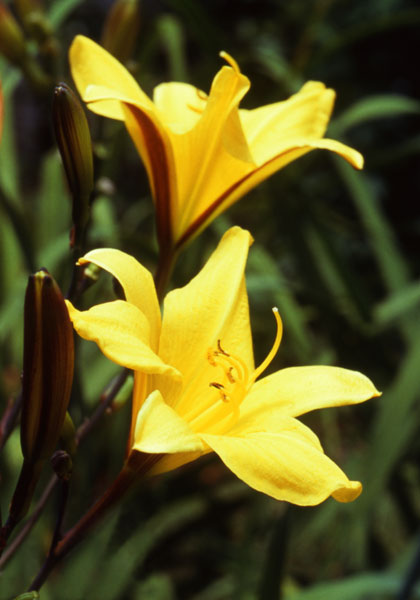 "Garden Gate Showcases Two of ""Our Out-of-the-Ordinary Daylilies"""