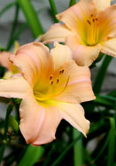 Melonee daylily, 1959 oldhousegardens.com