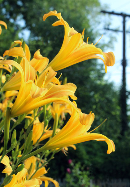 """Pack a Vertical Punch"" with Unfloppable 'Autumn Minaret' Daylily – www.OldHouseGardens.com"