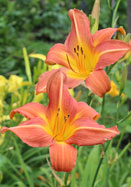 Salmon Sheen daylily, 1950 oldhousegardens.com
