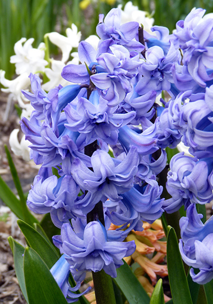 Double Hyacinths Go from Rejects to Super-Stars – www.OldHouseGardens.com
