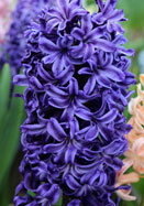 Marie hyacinth, 1860 oldhousegardens.com