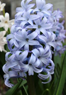 Queen of the Blues hyacinth, 1870 oldhousegardens.com