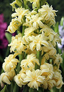 Double Yellow, Ophir hyacinth, 1827? oldhousegardens.com