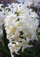 White Pearl hyacinth, 1954 oldhousegardens.com