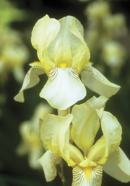 5 Timeless Iris: High Praise from the First President of the AIS – www.oldhousegardens.com