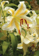 gold band  lily, 1862 oldhousegardens.com