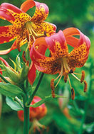leopard  lily, 1848 oldhousegardens.com