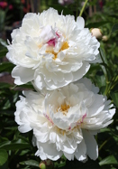 Frances Willard peony, 1907 oldhousegardens.com