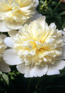 Golden Dawn peony, 1923 oldhousegardens.com