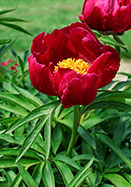 Early Scout peony, 1952 oldhousegardens.com