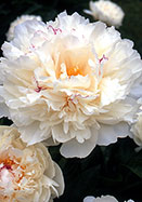 Couronne d'Or peony, 1873 oldhousegardens.com