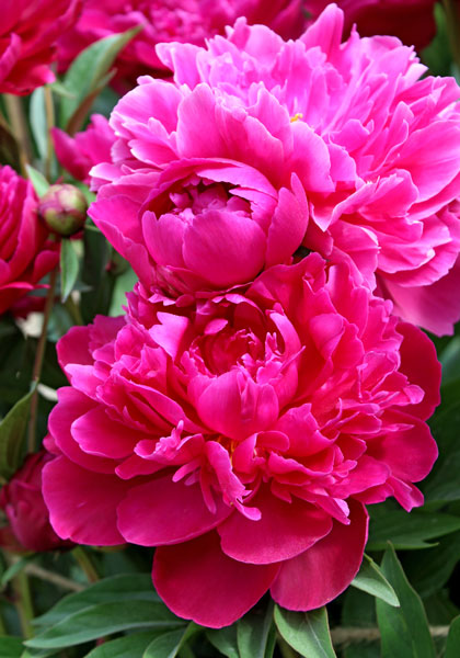 """Magnificent, Almost Immortal"" Peonies – www.OldHouseGardens.com"