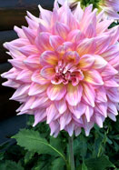 Kidds Climax Heirooom Dahlia Flower