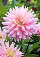 Miss Rose Fletcher dahlia, 1948 oldhousegardens.com