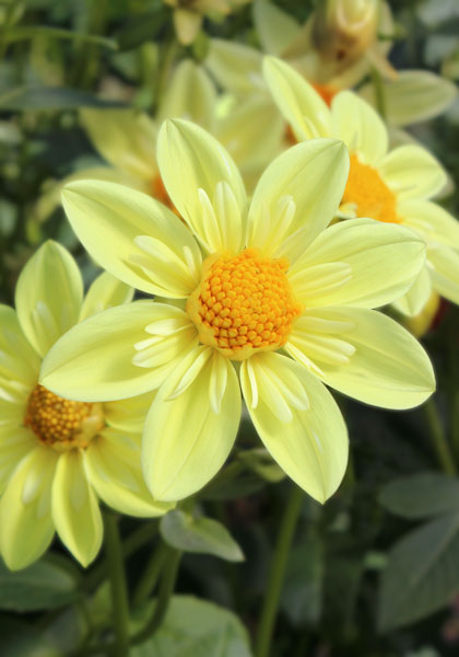News from 1902: The First Collarette Dahlias – www.OldHouseGardens.com