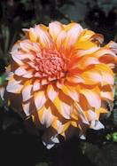 Prinses Beatrix dahlia, 1939 oldhousegardens.com
