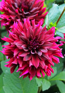 Prince Noir Heirooom Dahlia Flower