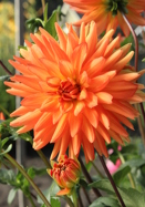 Andries' Orange dahlia, 1936 oldhousegardens.com