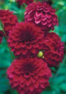 Hockley Maroon dahlia, 1935 oldhousegardens.com