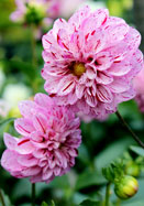 Gypsy Girl dahlia, 1947 oldhousegardens.com