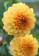 Golden Scepter dahlia, 1926 oldhousegardens.com