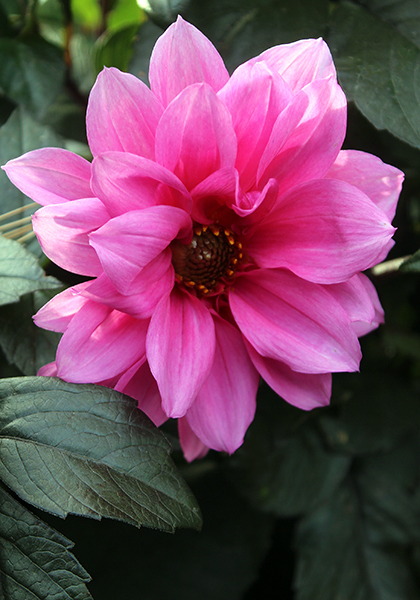 Pink CLEMATIS-GIFT FOR THE KIDS WIFE GIRLFRIEND Grandparents The Man Men