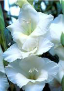 White Friendship gladiolus, 1959 oldhousegardens.com