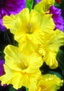 Empire Yellow gladiolus, 1963 oldhousegardens.com