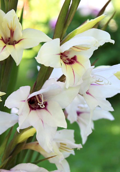 Fragrant Glads: Why More Aren't Like 'Lucky Star' – www.OldHouseGardens.com
