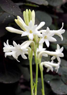 Mexican Single tuberose, 1530 oldhousegardens.com