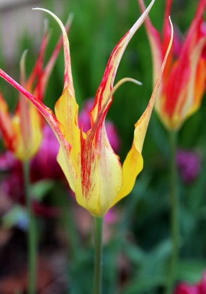 Heirloom Tulip Bulbs
