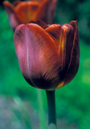 James Wild tulip, 1890 oldhousegardens.com