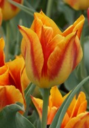 Duc d'Orange tulip, 1829 oldhousegardens.com