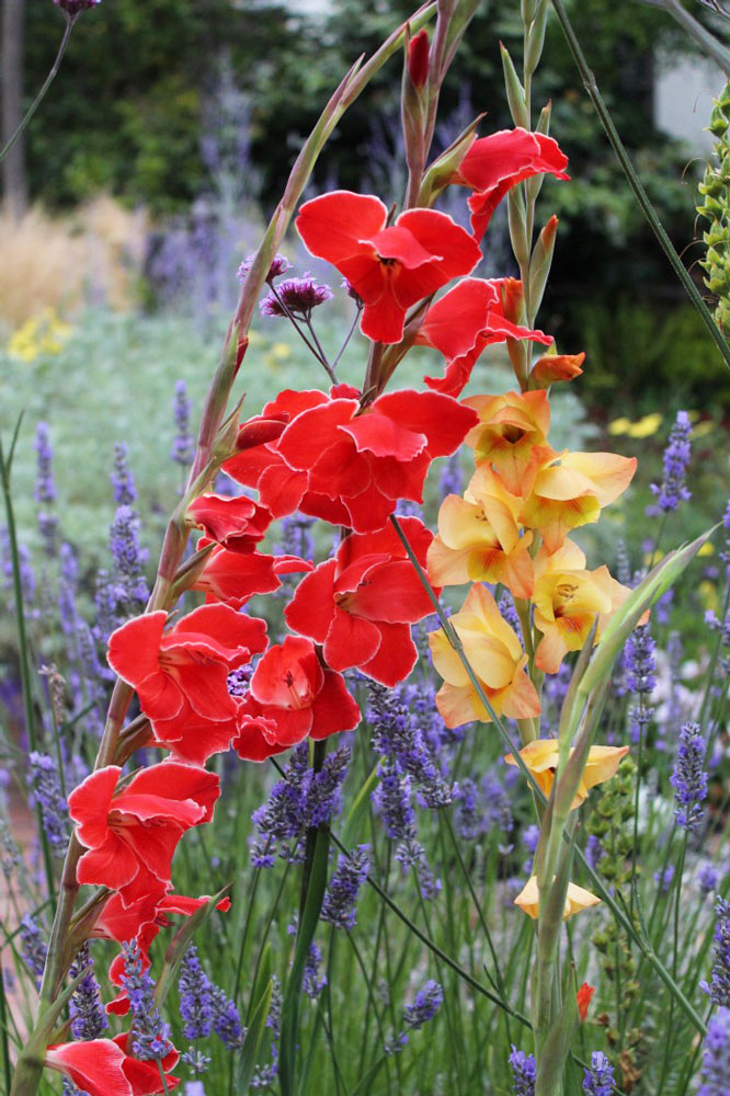 Rethinking (and Raving About) Glads – www.OldHouseGardens.com