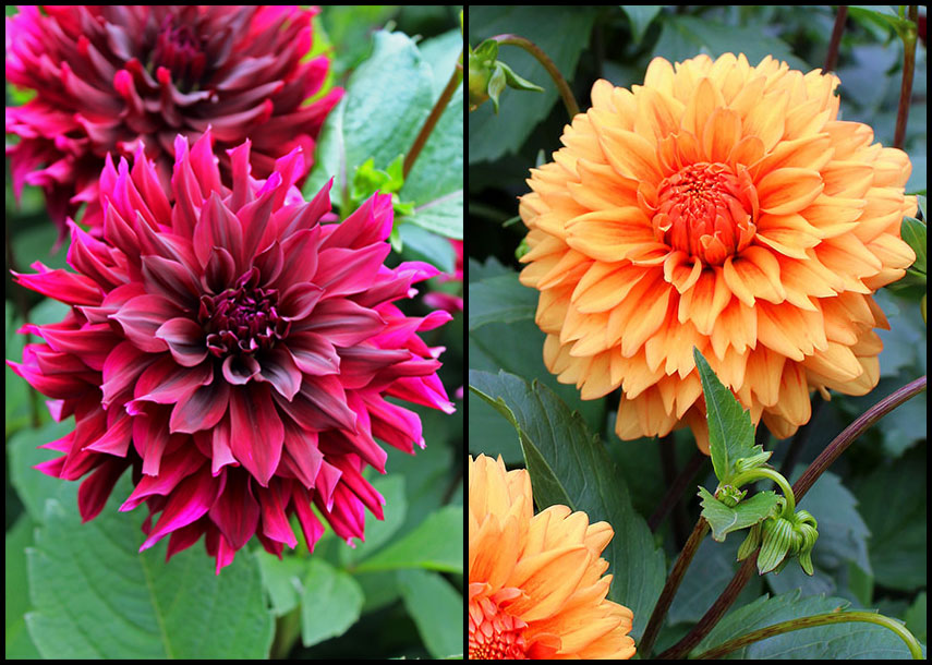 Customer Raves: Two Great Dahlias – www.OldHouseGardens.com