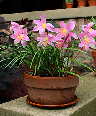 "Brighten Your Summer with ""House-Pot Lilies"" – www.OldHouseGardens.com"
