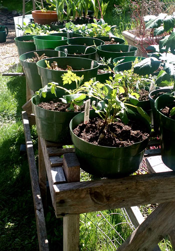 "Extra Easy Growing and Storing Dahlias ""In the Dry"" – www.OldHouseGardens.com"
