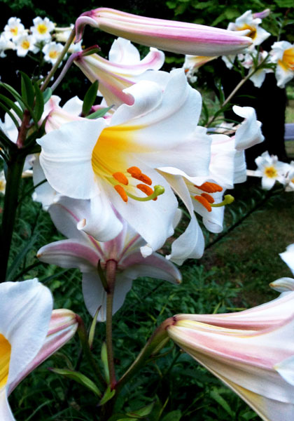 Regal Lilies Blooming in the Wilds of China – www.OldHouseGardens.com