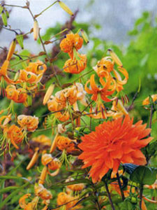 Henry's Lily Stars in Historic English Gardens – www.OldHouseGardens.com