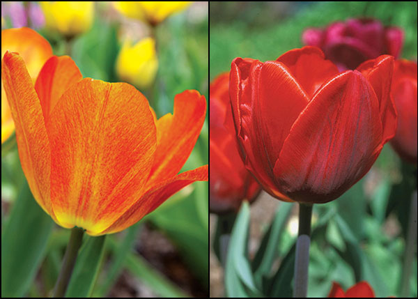 Two Great Tulips Overcome Deer, March Planting – www.OldHouseGardens.com