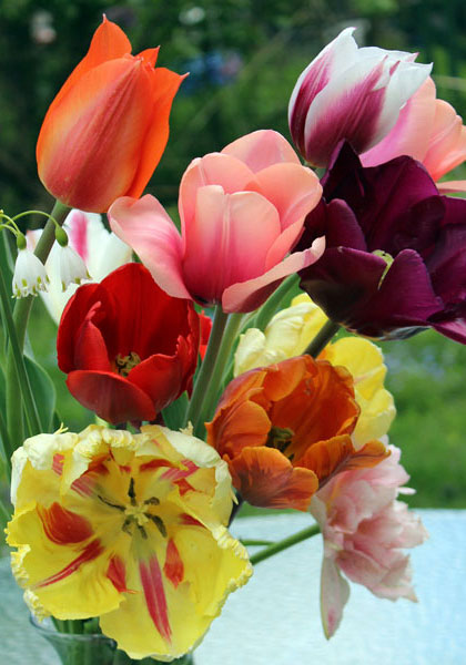 Martha Loves Tulips – and Us! – www.oldhousegardens.com