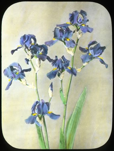 From Our Newsletter: Iris