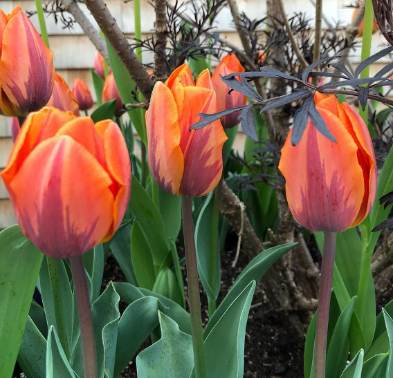 Our Time Lapse Photo Sequence Tulips Go >> From Our Newsletter Tulips