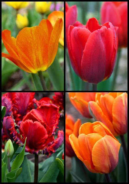 7 X Tulip Queen of The Night Stunning Heirloom Deep-Velvety Maroon Blooms for a Beautiful Garden Spring Flowering Bulbs
